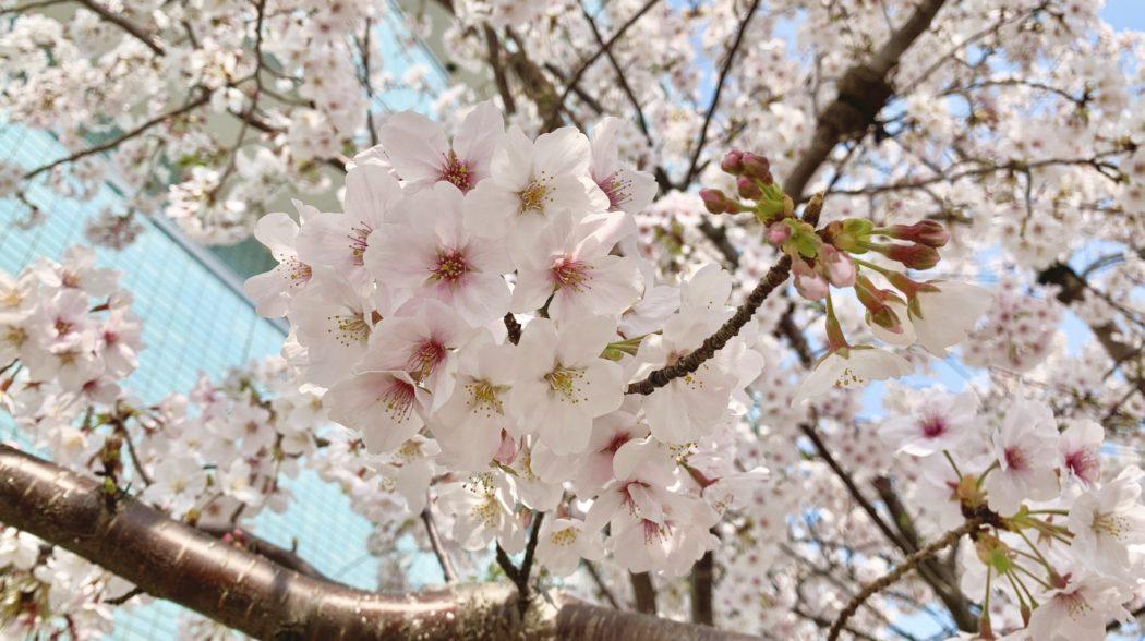 淡路エリアのグループ病院・施設の桜を紹介しています!のアイキャッチ